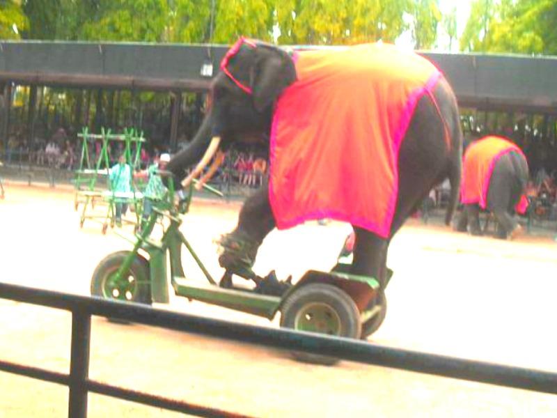 шоу слонов,слон на авто