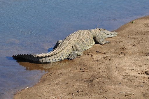 в сафари парке крокодил