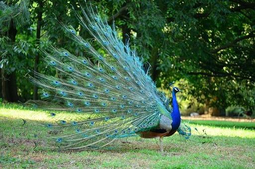 павлин в сафари парке на Шри -Ланке