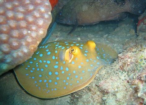 подводный мир пятнистого ската