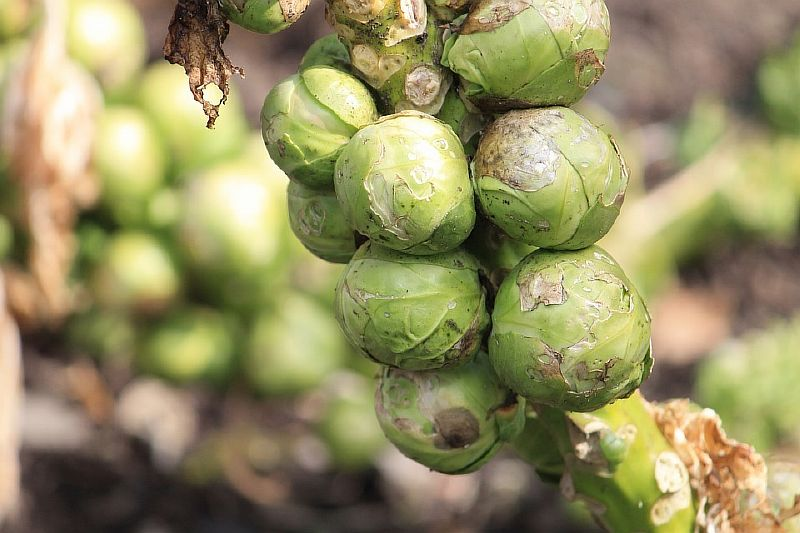 брюссельская капуста ее применяют для похудения