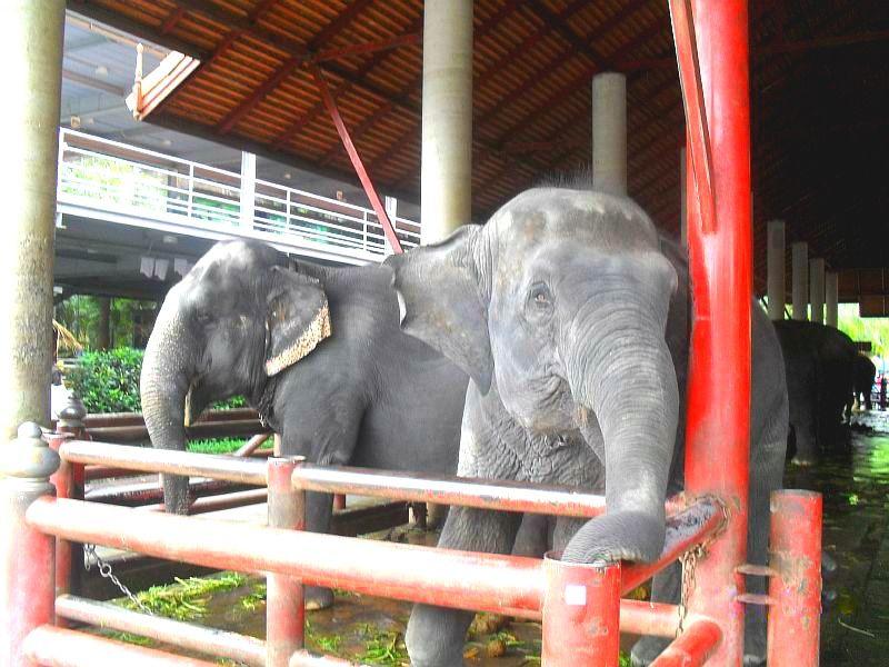 после шоу слонов животные находятся на ферме